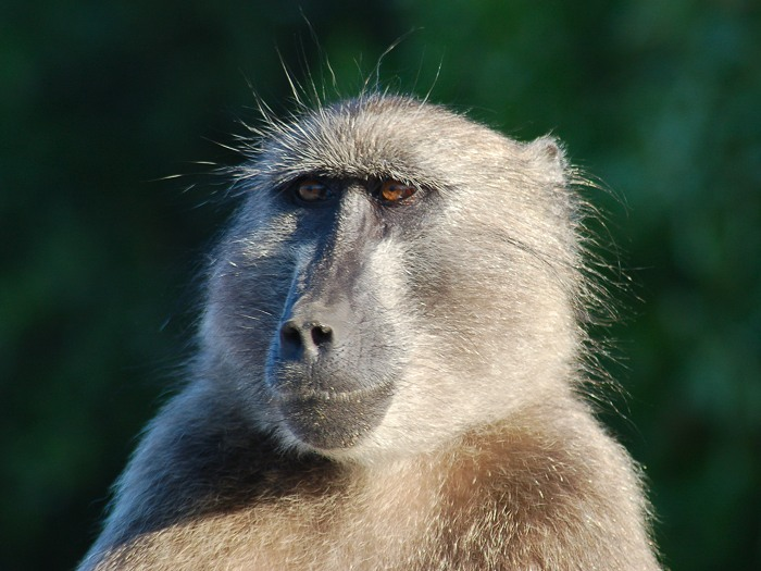 The chacma baboon has a wide variety of social behaviors, including a dominance hierarchy, collective foraging, adoption of young by females, and friendship pairings.