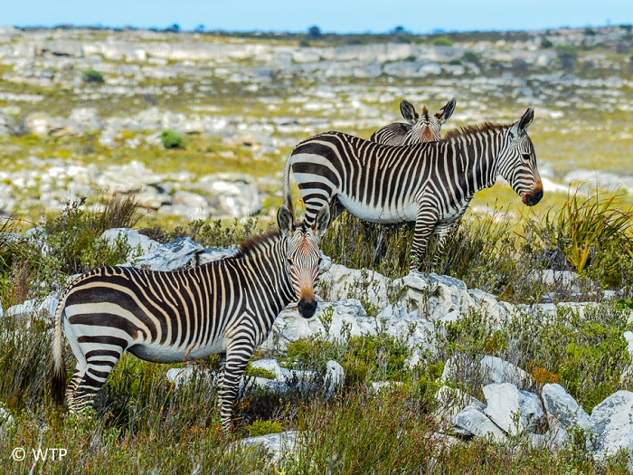Zebras have excellent eyesight. It is believed that they can see in colour.