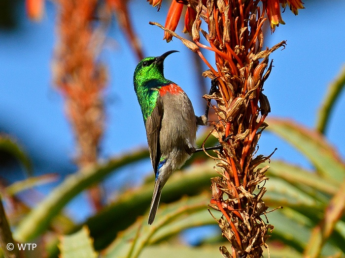 Most sunbirds feed largely on nectar, but also take insects and spiders, especially when feeding young.