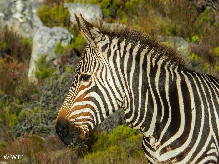 Zebra's  stripes come in different patterns, unique to each individual.