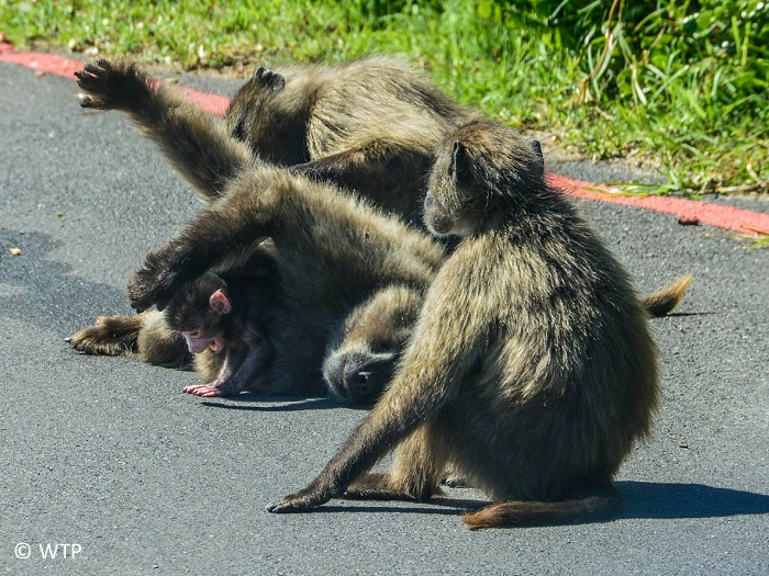 The chacma baboon, also known as the Cape baboon, is, like all other baboons, from the Old World monkey family. It is one of the largest of all monkeys.