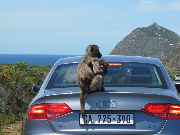 Do not feed the baboons; this offence is punishable with a fine. Also, do not leave your car doors unlocked or windows open as the baboons are very intelligent and highly opportunistic.