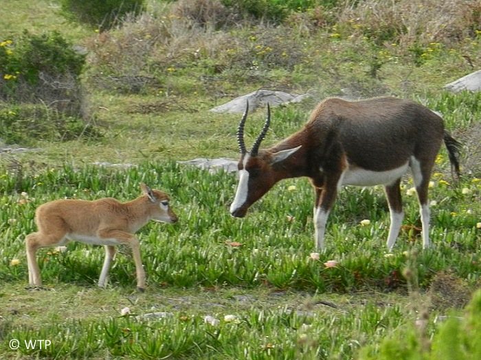 A bontebok and its calf. Bontebok are not good jumpers, but they are very good at crawling under things.