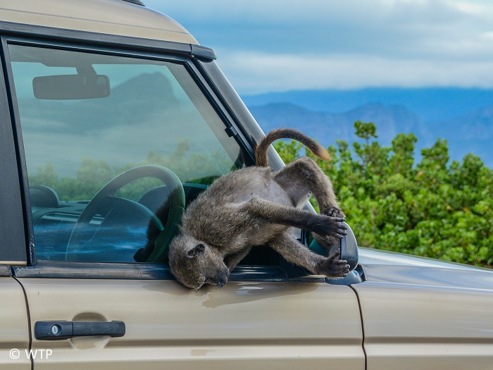 A cheeky chacma baboon  checking out his reflection in the wing mirror of a car!