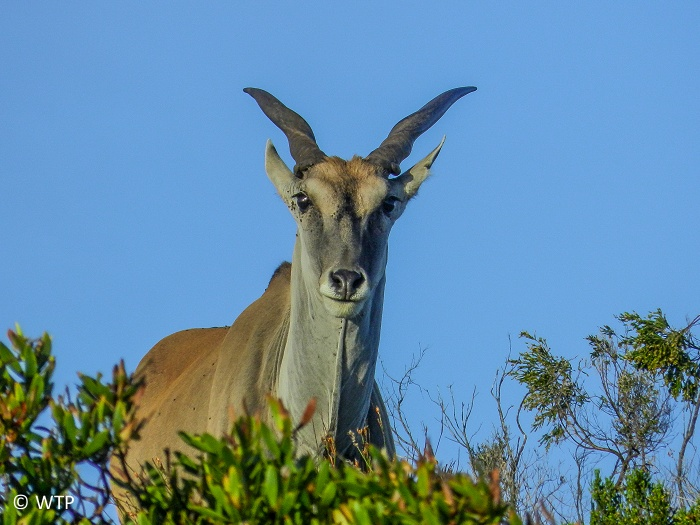 Eland are mainly herbivores, their diet consisting primarily of grasses and leaves.