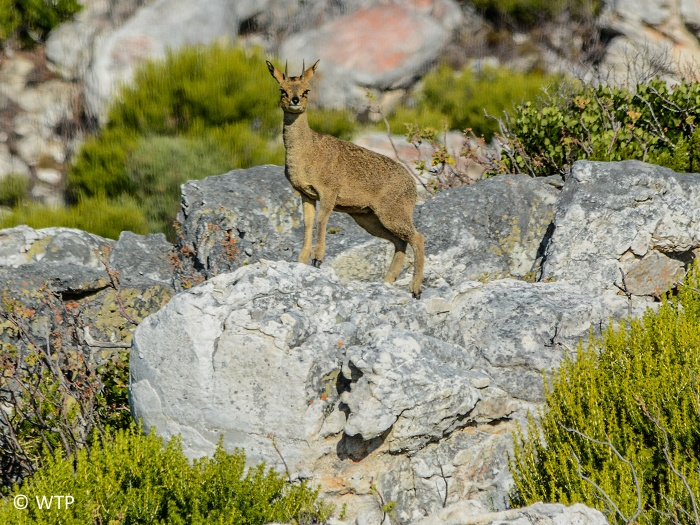 The klipspringer is a small species of South African antelope.