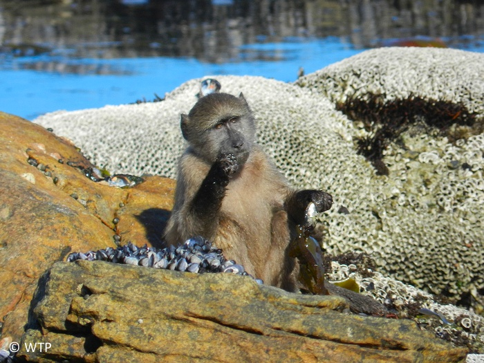 A chacma baboon feasting on some delicious muscles.