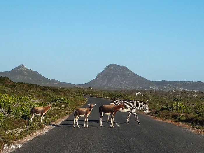 Bontebok and Cape Mountain zebra crossing the road.