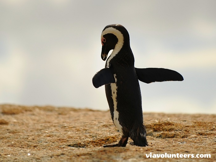 Visit the penguins at Boulders beach in Simon's Town.