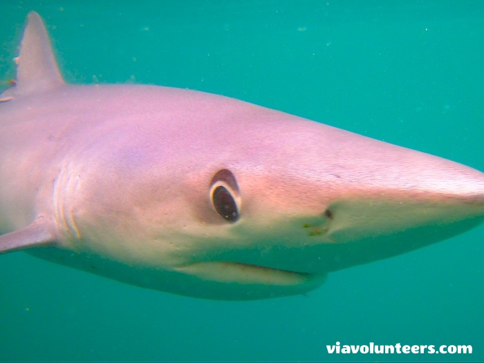 A blue shark in the clear waters of the Agulhas current off the coast of Cape Point.