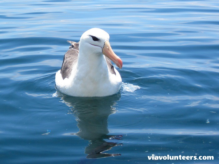 A brown browed albatross about 30km south of Cape Point.