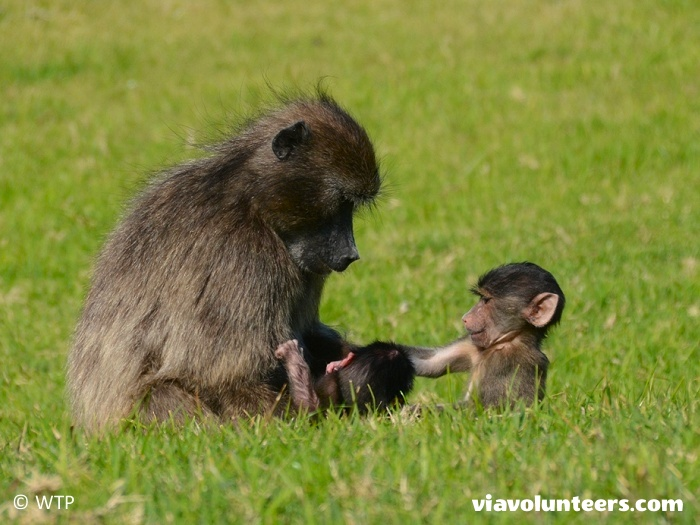 A mother chacma baboon with her two babies.