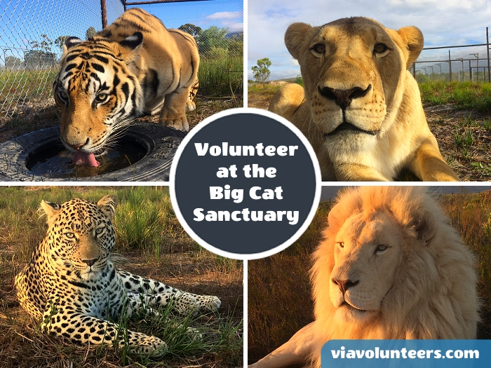 Join a dedicated team at this ethical and environmentally friendly sanctuary for captive bred predators which include lions, tigers and leopards.