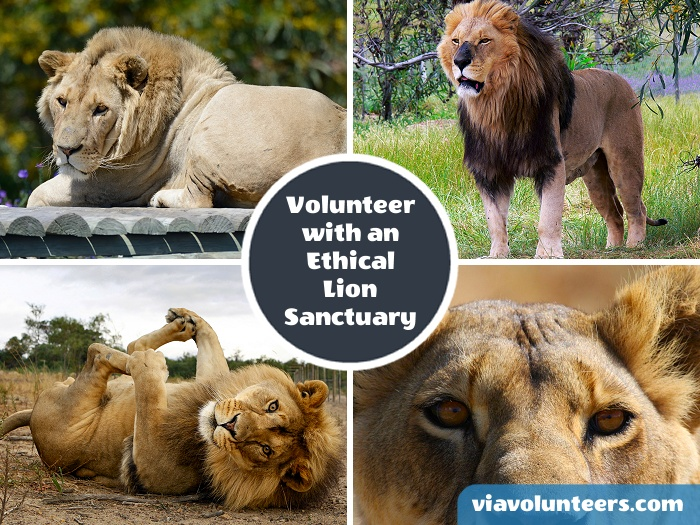 Join a dedicated team and contribute to the running of an ethical sanctuary for captive born lions that cannot be rehabilitated into the wild.