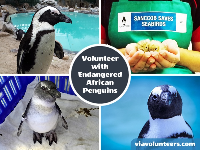 Help to rehabilitate endangered African Penguins and other marine bird species at the SANCCOB rehabilitation centre.