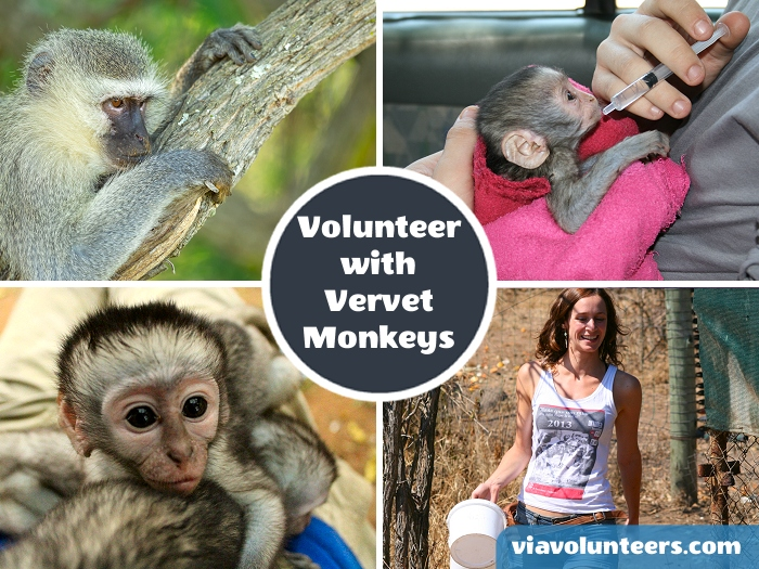 Help to rehabilitate over 500 orphaned, injured and abused vervet monkeys at a world leading primate sanctuary in South Africa.