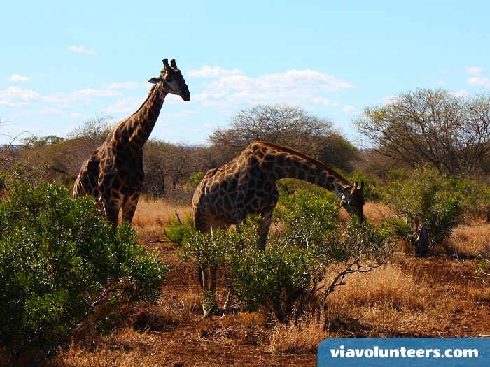 Gentle and graceful, giraffes are always a pleasure to watch on a game drive.