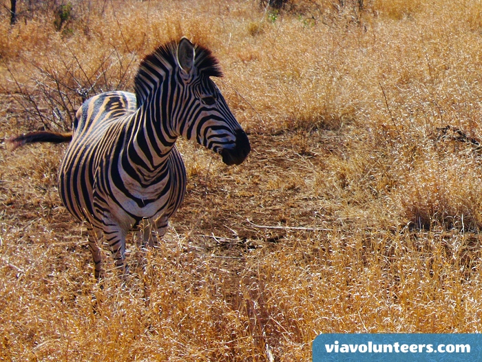 Zebra are regularly sighted on game drives in Kruger National Park.