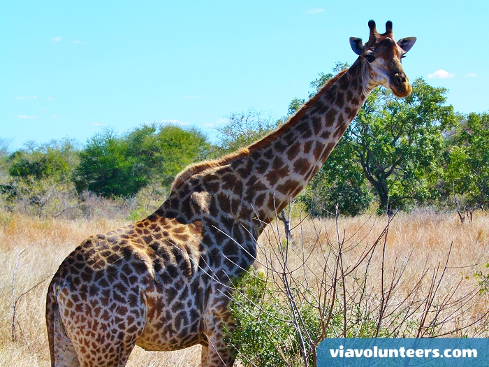 A beautiful giraffe in Kruger National Park.