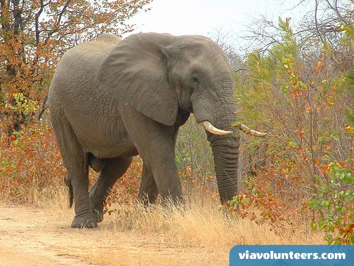 Photograph African Elephants in Kruger National Patk.