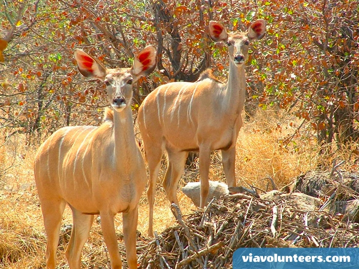 Kudu are one of Africa's largest antelope species.