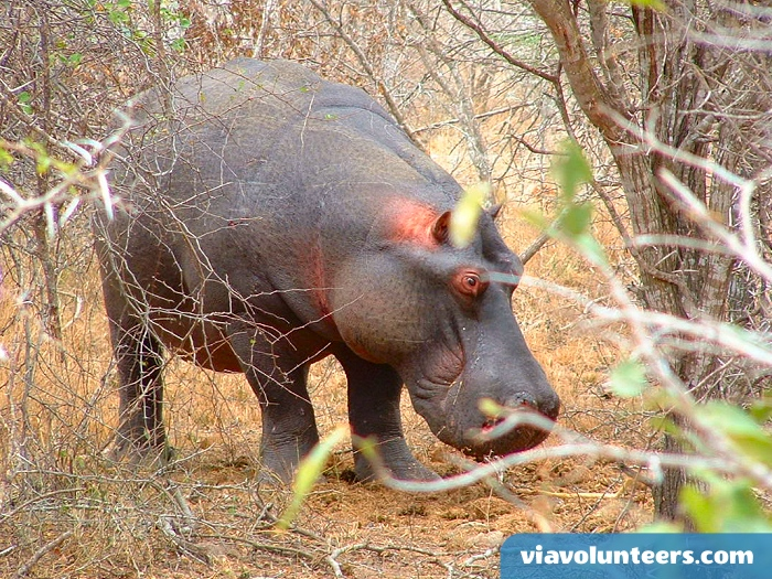 Often underestimated, the hippo is one of Africa's most dangerous wild animals.