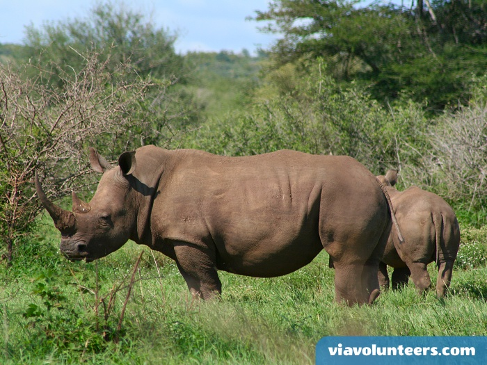 An endangered white rhino in Kruger National Park. One of many wild animals you will encounter on safari.