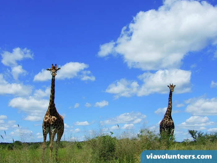A typical giraffe scene in Kruger National Park.
