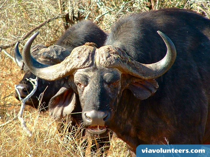 One of Africa's Big 5, buffalo are intelligent animals that will fearlessly fend off lions when protecting their young.