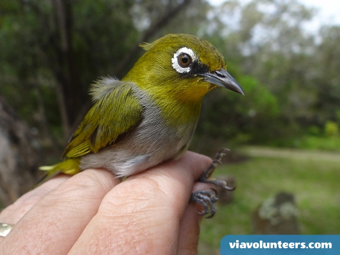 Cape white-eyes are diurnal and are known for being extremely social and for their frequent, loud vocalizations. They are rarely seen alone and are mostly accompanied by a mate or large flock.