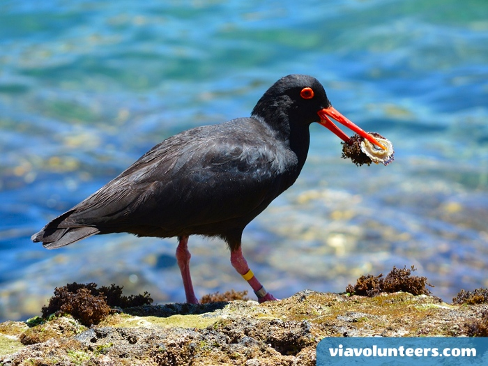 Despite it's name, the Oyster Catcher seldom eats oysters. At low tide, it forages along rocky shorelines, looking for other molluscs-mostly limpets and mussels.