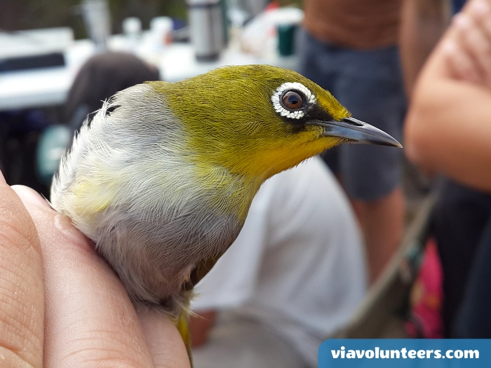 The Cape white-eye feeds mainly on insects, but also spiders and their eggs, soft fleshy flowers, nectar, fruit, pollen, and small grains.