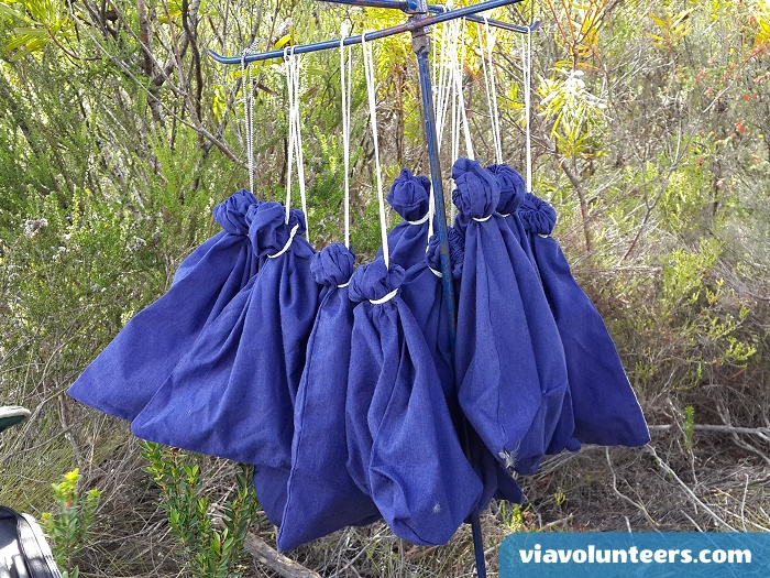 After the birds are caught in very fine nets, they are put into these bags while waiting to be ringed, have their sugar levels tested etc.