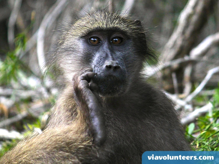 These baboons can grow up to 120 centimetres tall, weigh up to 40 kilograms and live for up to 30 years.