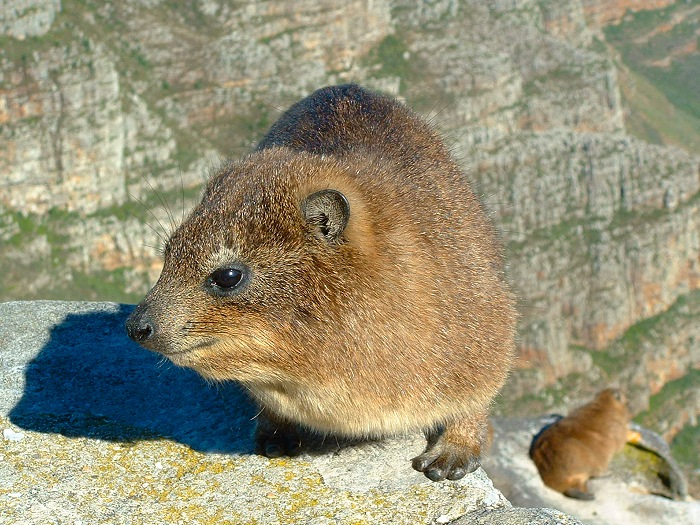 The closest living relatives to hyraxes (dassies) are the modern-day elephants!