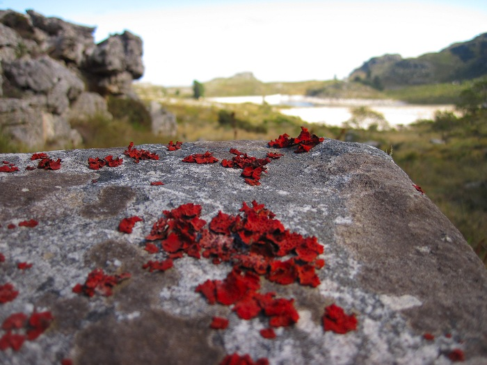 Red lichen at the top of Skeleton Gorge, Table Mountain.