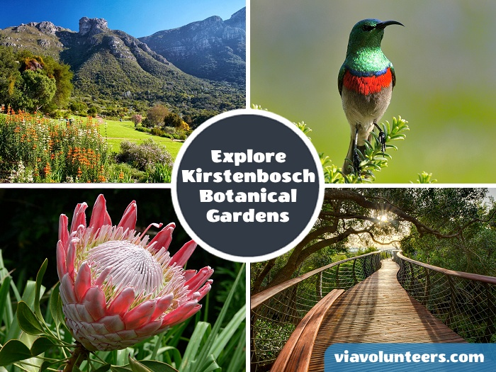 Explore the beautiful Kirstenbosch Botanical Gardens nestled on the slopes of Table Mountain. View thousands of plant species and get a monkey�s view on the exhilarating Boomslang treetop walkway.