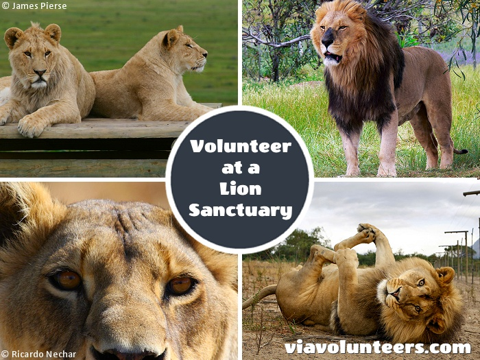 Join a dedicated team and contribute to the running of a genuine sanctuary for captive born lions that cannot be rehabilitated into the wild. You can arrive in Cape Town on any Friday and stay for 1 week or more.