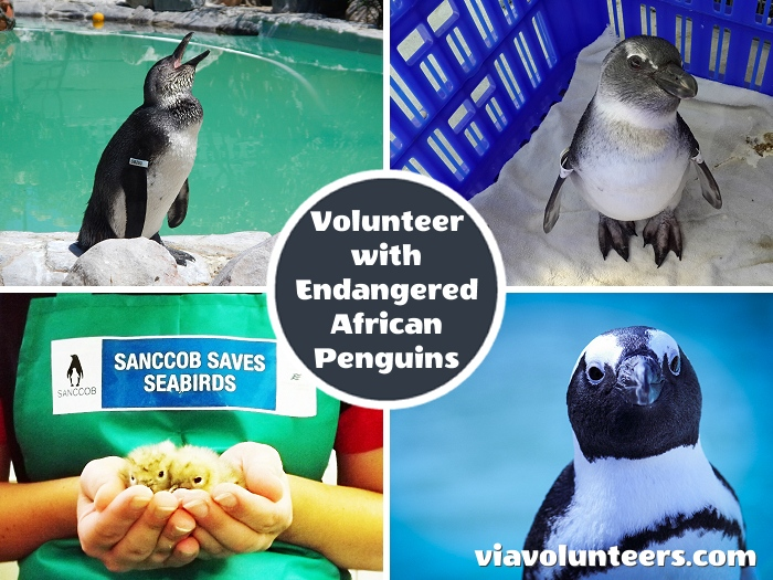 Help to rehabilitate endangered African Penguins and other marine bird species at the SANCCOB rehab centre near Cape Town.