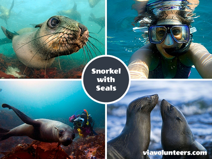 The Cape Fur Seals are fascinating marine mammals that are curious and playful enough to approach divers and groups will often put on a display of underwater 'hydrobatics' and make mock charges at divers before swerving away at the last moment.