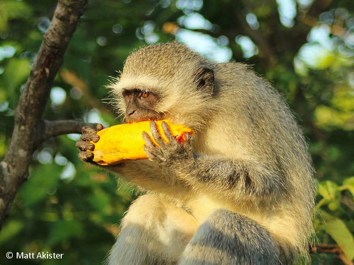 Leaves and young shoots make up the bulk of the Vervet monkey's diet, along with tree bark, flowers and fruits that can also be found in the trees surrounding them.
