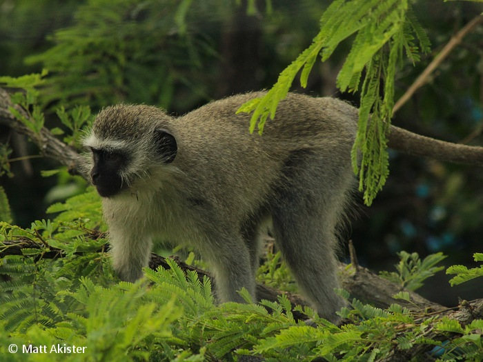 On the ground Vervet monkeys forage for roots, bulbs, seeds and grasses and are also known to supplement their diet with insects, eggs, rodents, birds and other small animals.
