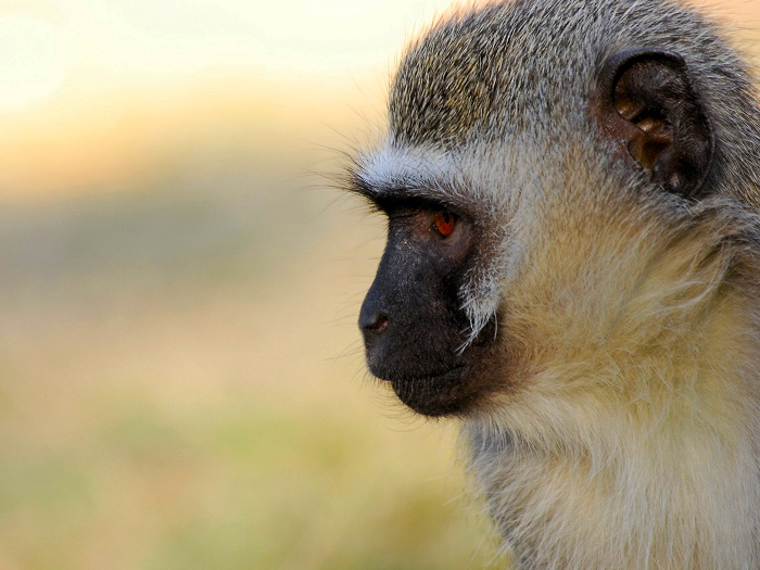Vervet monkeys are accidental gardeners. They eat seeds whole, and they pass undigested through them and into their droppings, which are left in ideal places for germination, increasing the abundance of trees.