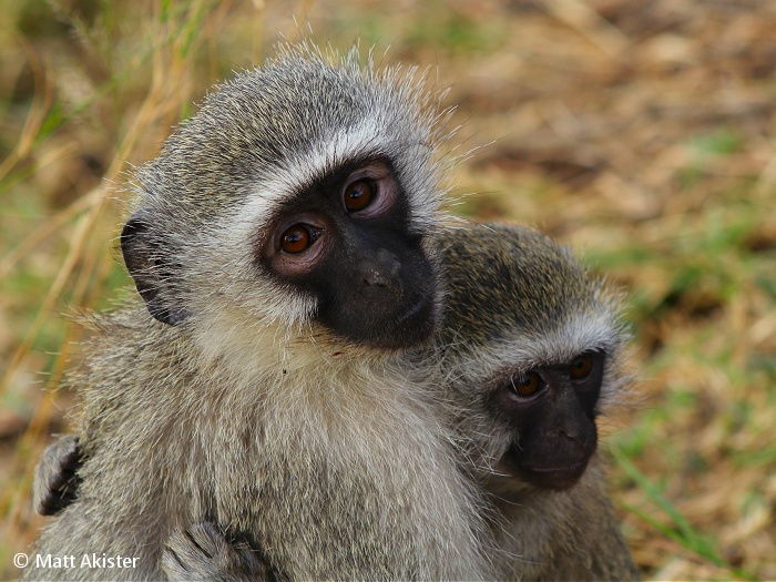 In the primates' hierarchy, dominant individuals get the most grooming.
