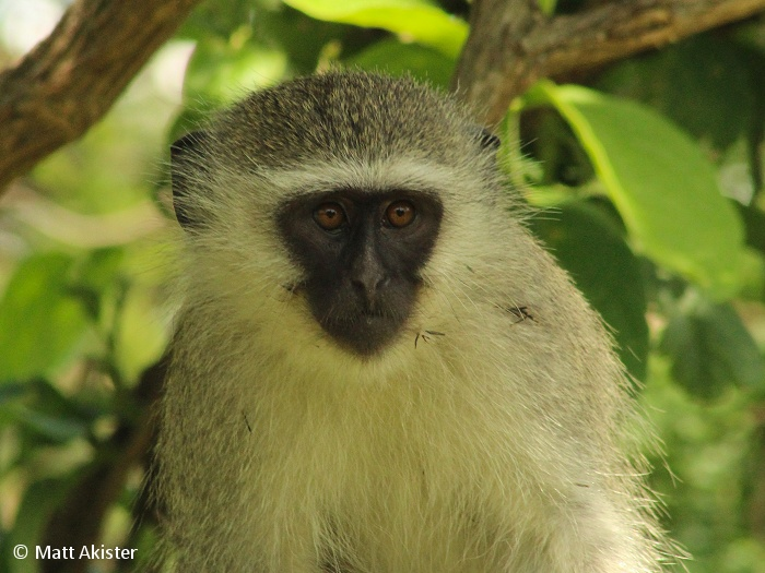 The Vervet monkey is an arboreal monkey which means that it spends most of it's time in the safety of the trees.