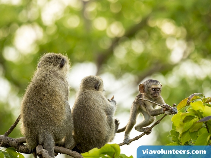 Do you love monkeys? Why not volunteer abroad with Via Volunteers in South Africa during your gap year abroad and have lots of fun  while doing good!