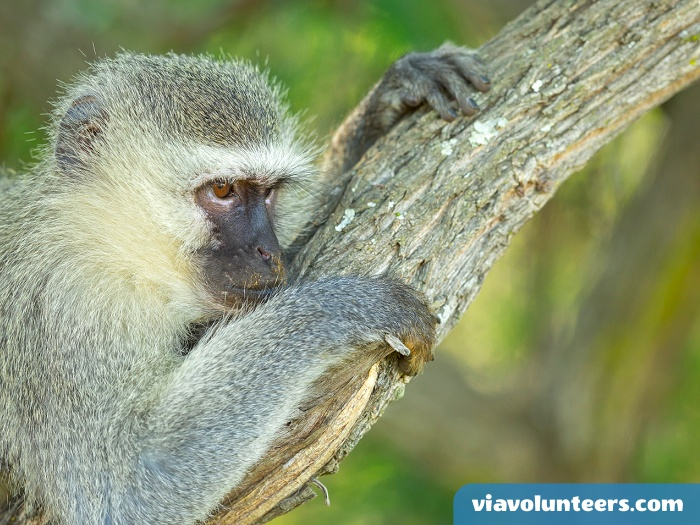 The different types of vervets vary in colour, but generally the body is a greenish-olive or silvery-gray. The face, ears, hands, feet and tip of the tail are black, but a conspicuous white band on the forehead blends in with the short whiskers.