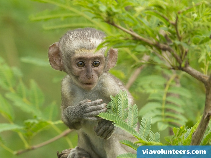 Infant vervet monkeys are suckled for about 4 months. When they become adept at feeding themselves solid food, the weaning process begins, although it may not be completed until the vervet is 1 year old.