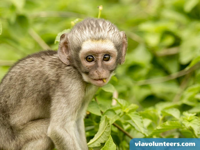 Vervet monkeys are excellent jumpers and swimmers.