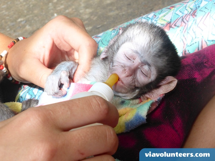 Caring for a baby monkey with mother. Volunteer abroad with Via Volunteers in South Africa during your gap year abroad and have lots of fun while doing good!